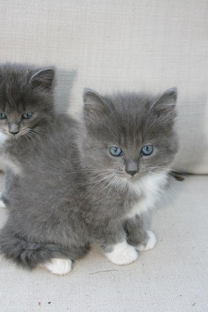 Persian Cat Rescue Wv